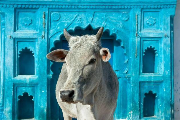 cultura-de-la-india-vacas-sagradas