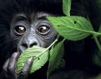 Extensión a Uganda: Gorilas de montaña