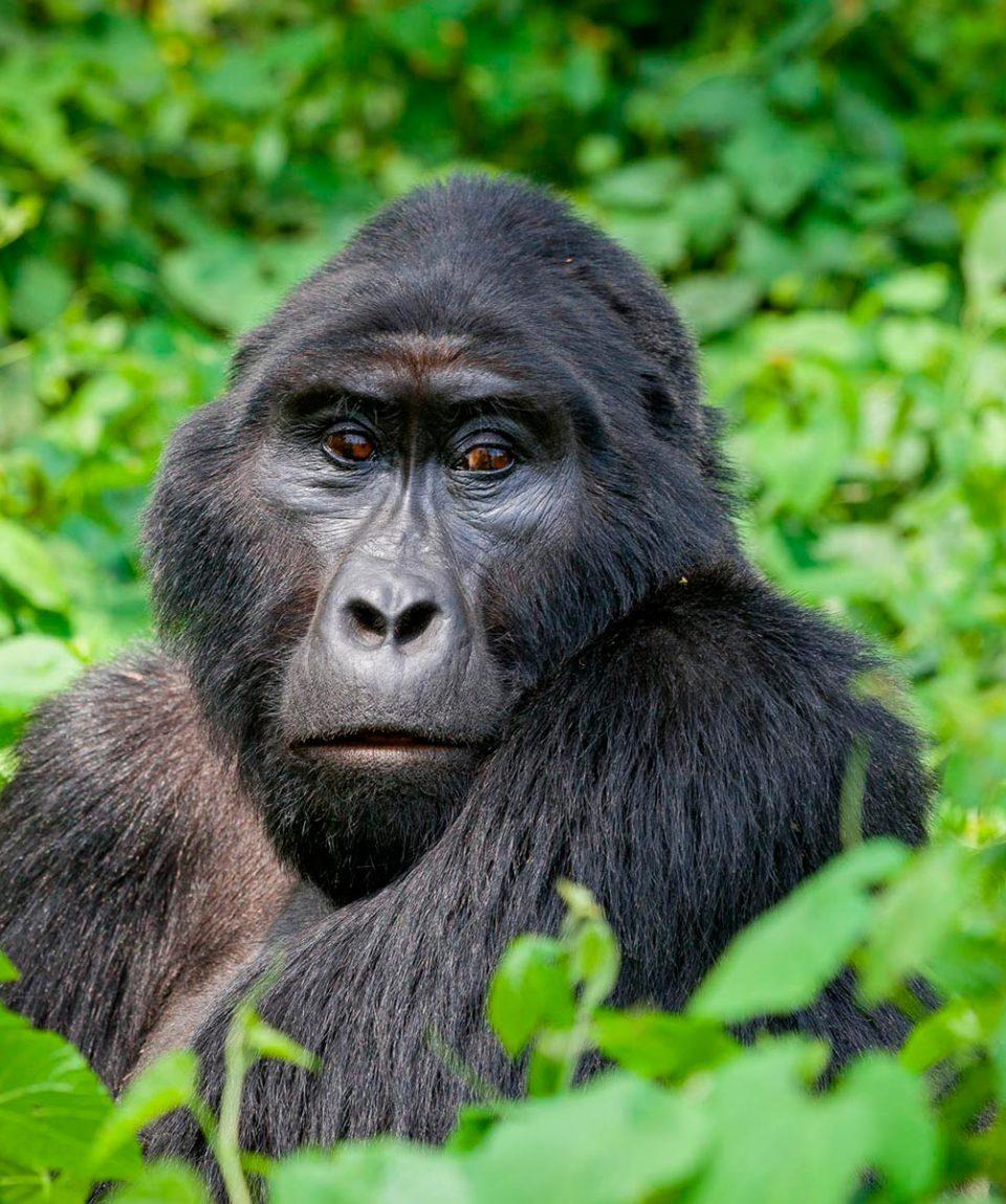 viaje-a-uganda-gorila